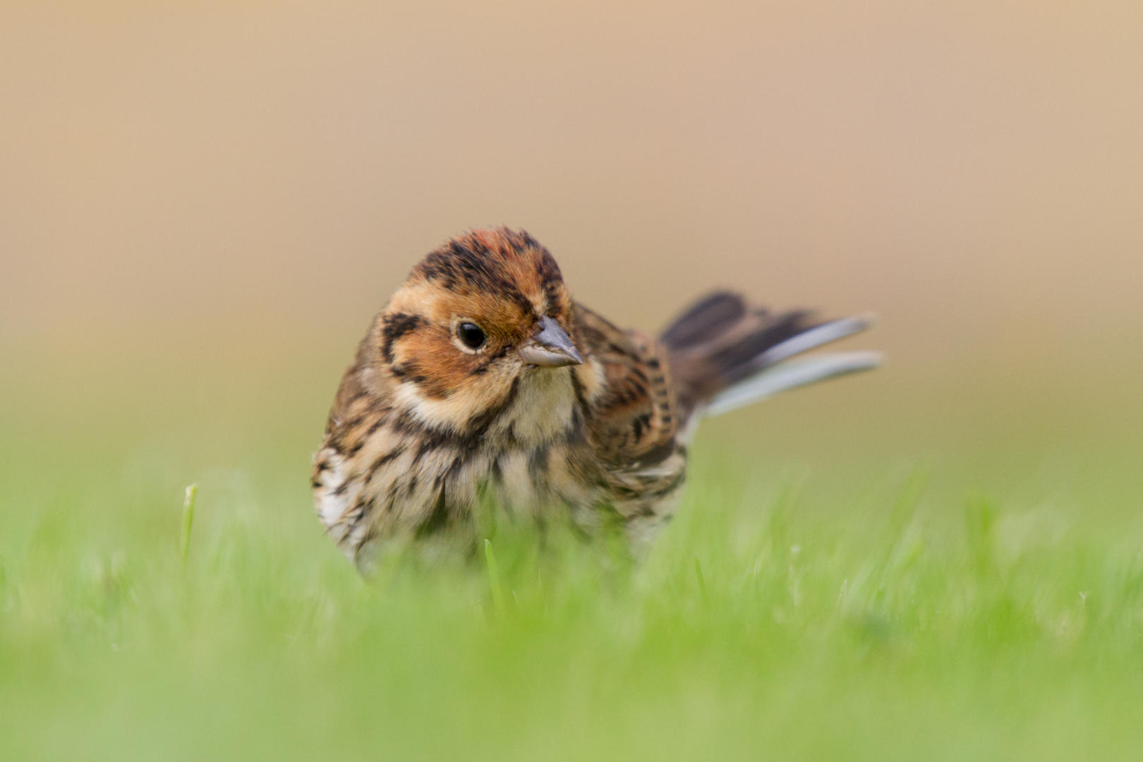 Dirk Hoogenstein: Little Bunting