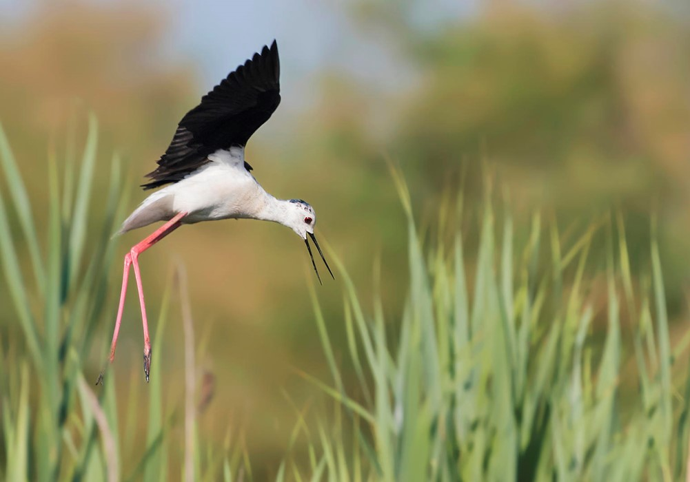 Black-winged Stilt - Photo: Franco