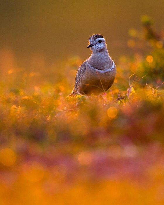 Dotterel in midnight sun - Photo: Lasse