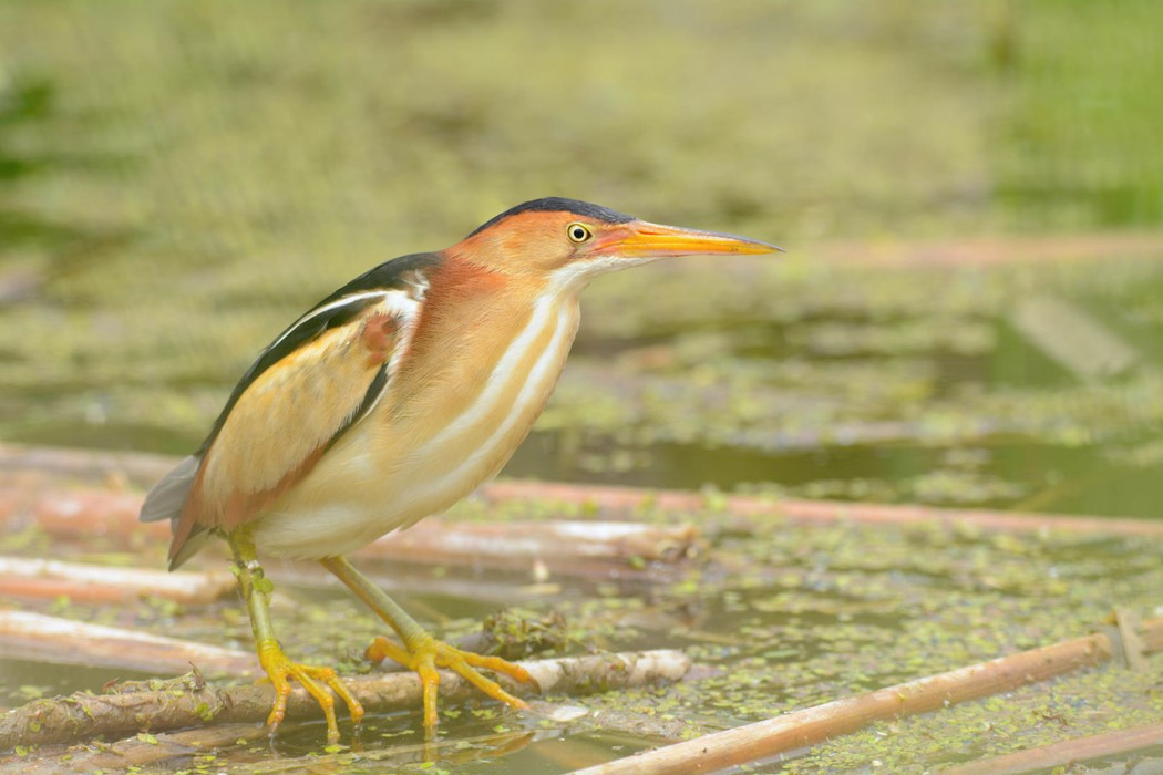 Least Bittern - Photo: Jax Nasimok