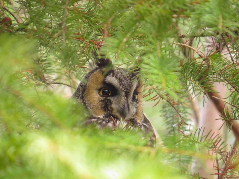 Long-eared Owl - Photo: Jax Nasimok