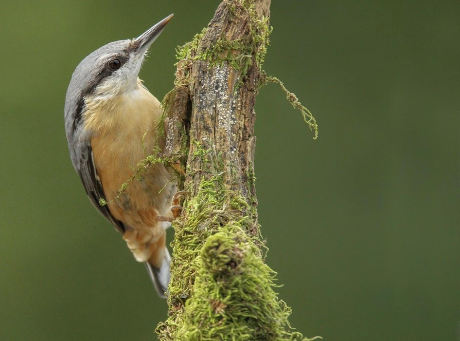 Nuthatch, Forest of DeanNuthatch, Forest of Dean Photo: Hugo Wilson
