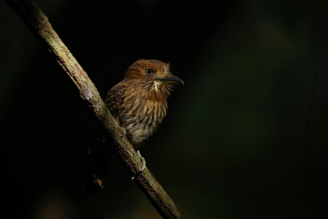 "Puffbird under the ""Spotlight"" - Photo: Ariel Chen"