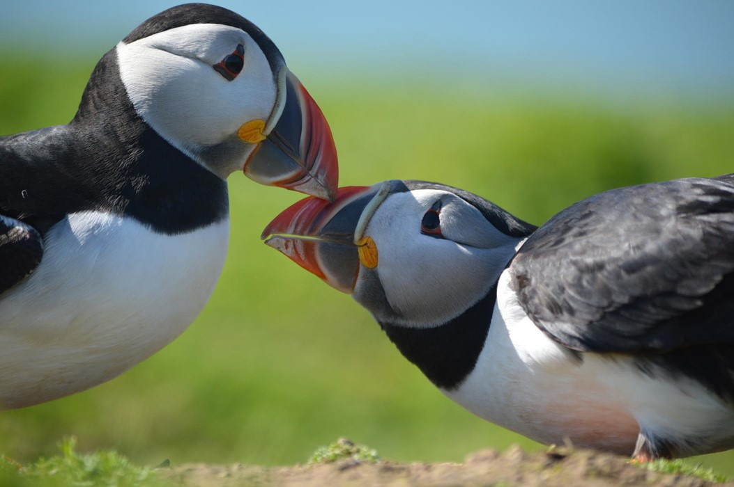 Puffins billing - Photo: Isaac West