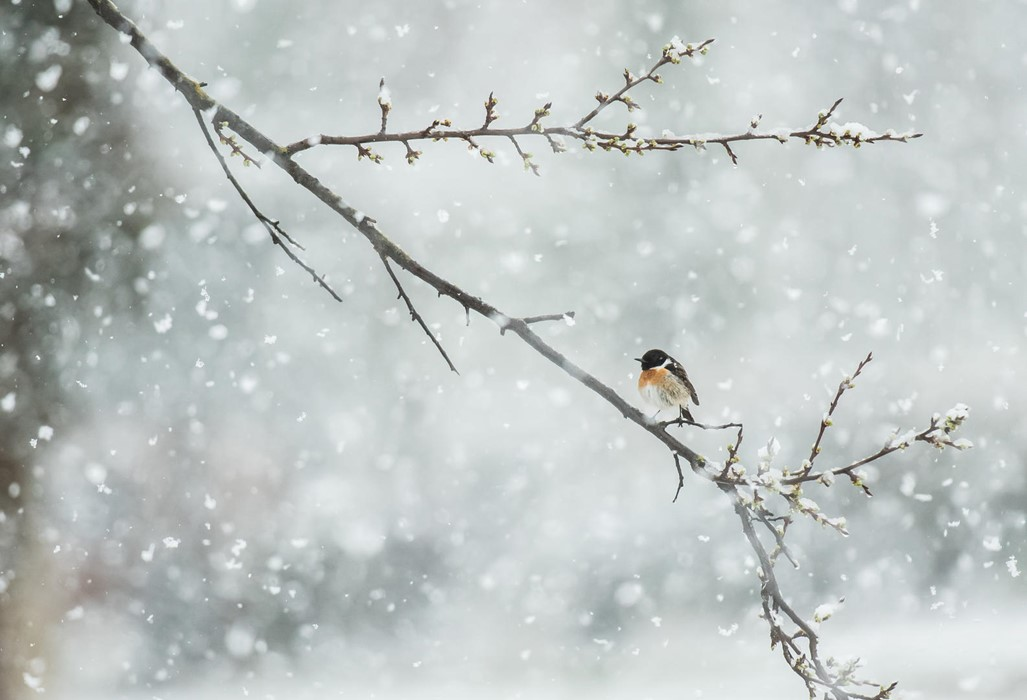 Surprised by late snow - Photo: Carlos Pérez