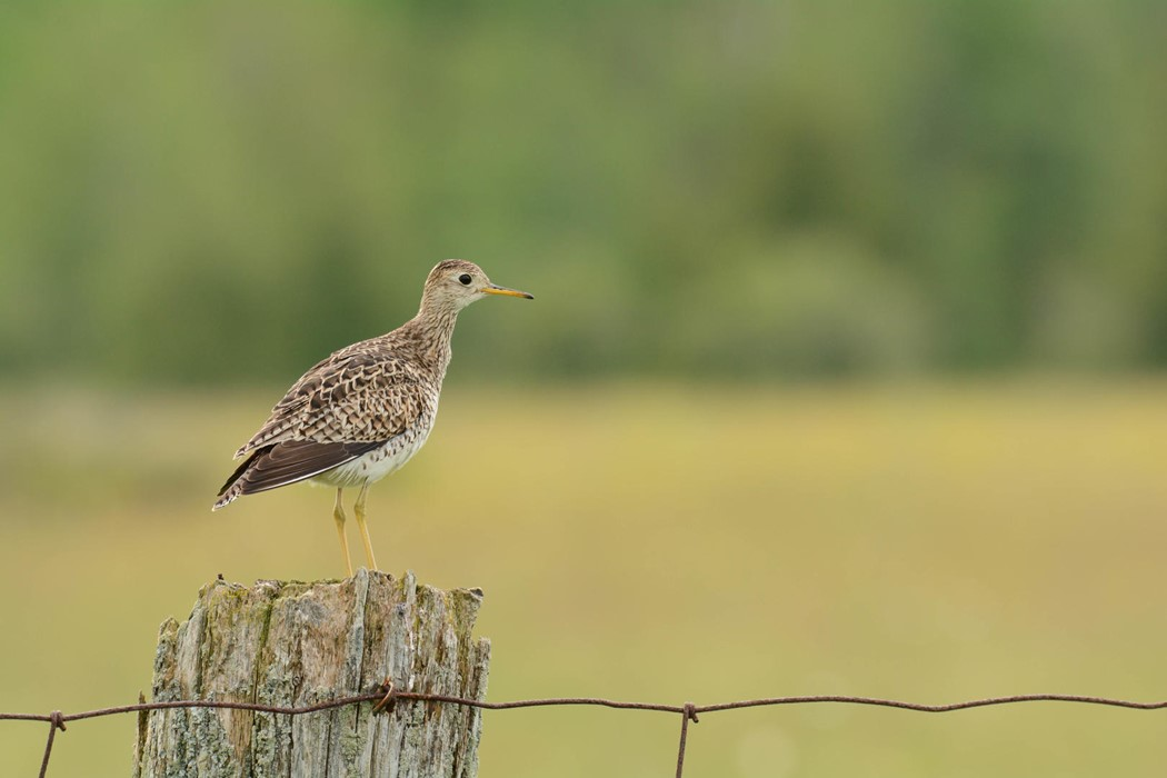 Upland Sandpiper - Photo: Jax Nasimok