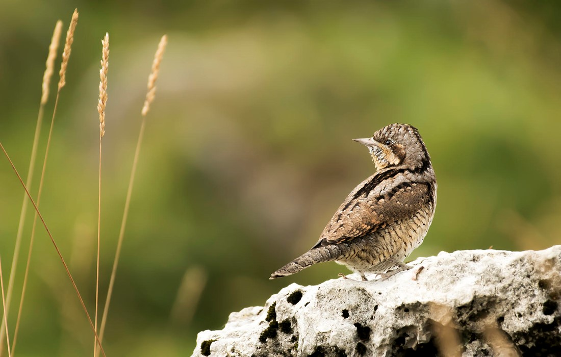 Wryneck Photo: Francesco