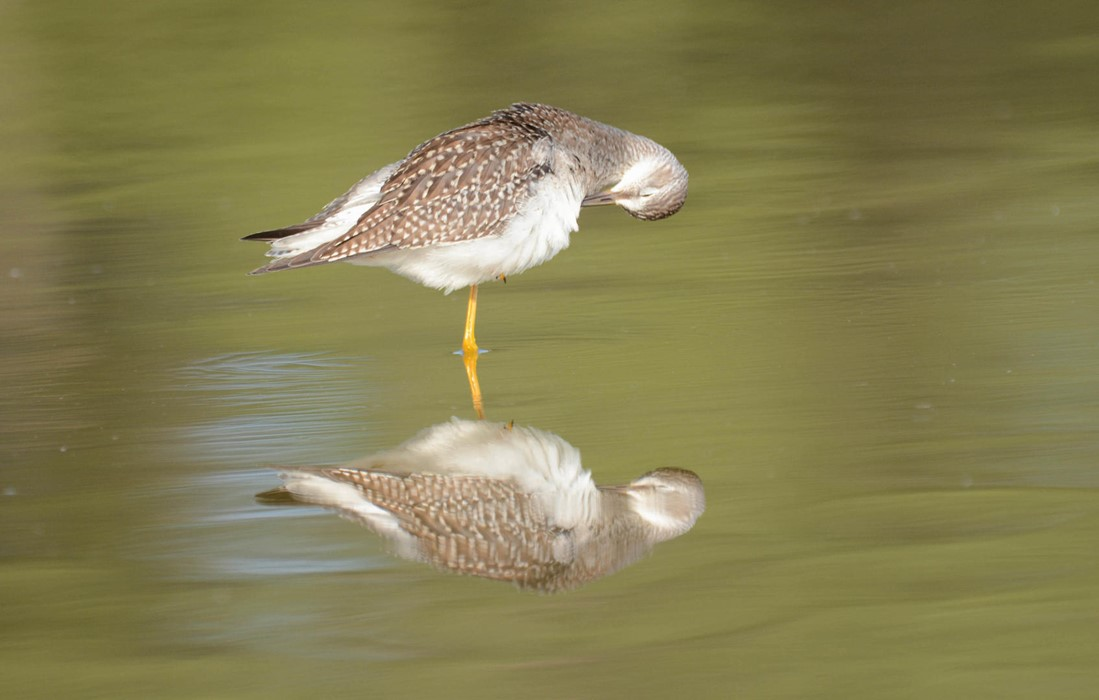 Yellowlegs - Photo: Jax Nasimok