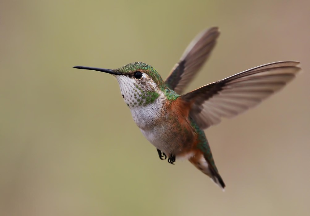 Maddie Nolan: Hummingbird in Flight